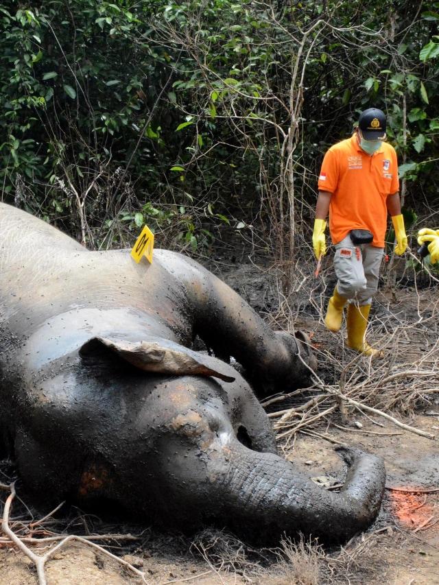 PTR, Gajah Aceh mati