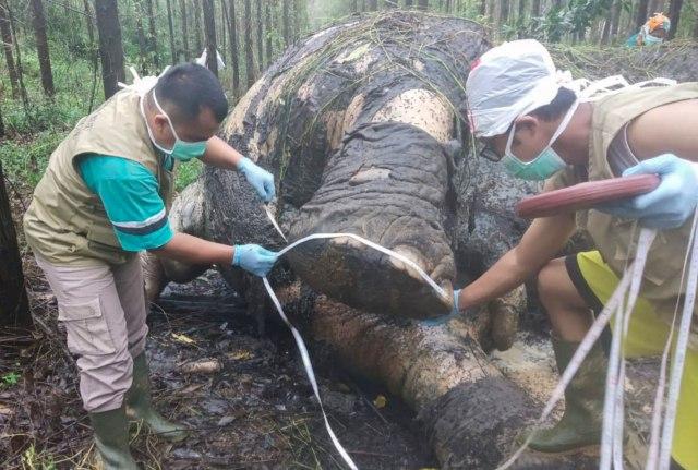 Bangkai gajah riau