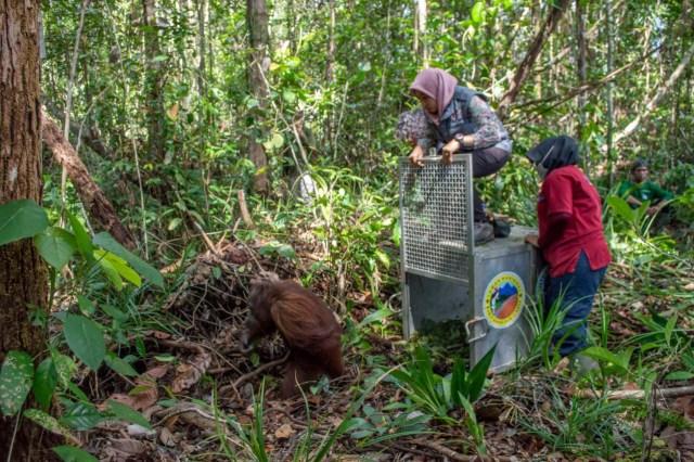 Selama 2019, IAR Indonesia Selamatkan 9 Orang Utan di Kalbar (80594)
