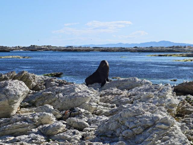 POINT KEAN SEAL COLONY di SELANDIA BARU