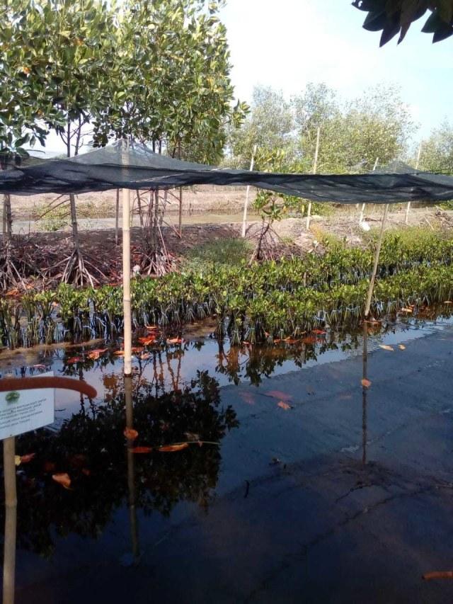 PTR, Penanaman mangrove
