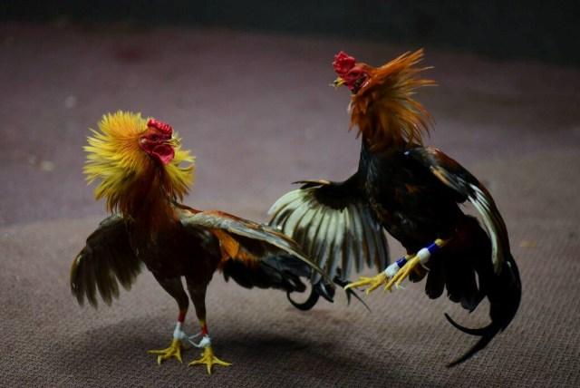 Sudah Dilarang, Masih Ada Warga Bali Judi Sabung Ayam Saat Corona -  kumparan.com
