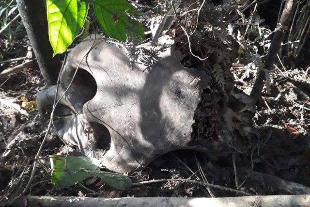 Gajah Mati di Aceh Jaya: Ditemukan Dua Ekor dan Tinggal Tulang (183888)