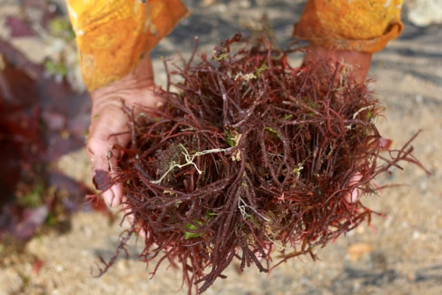 rumput laut 1.jpg