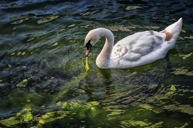 swan-547210_1920.jpg