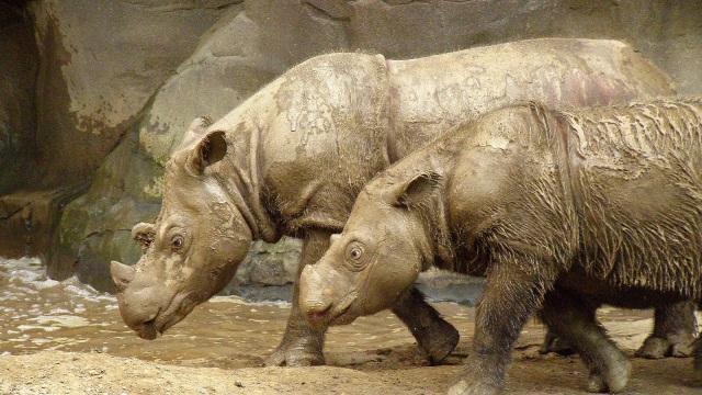 Sumatran_Rhino_2.jpg