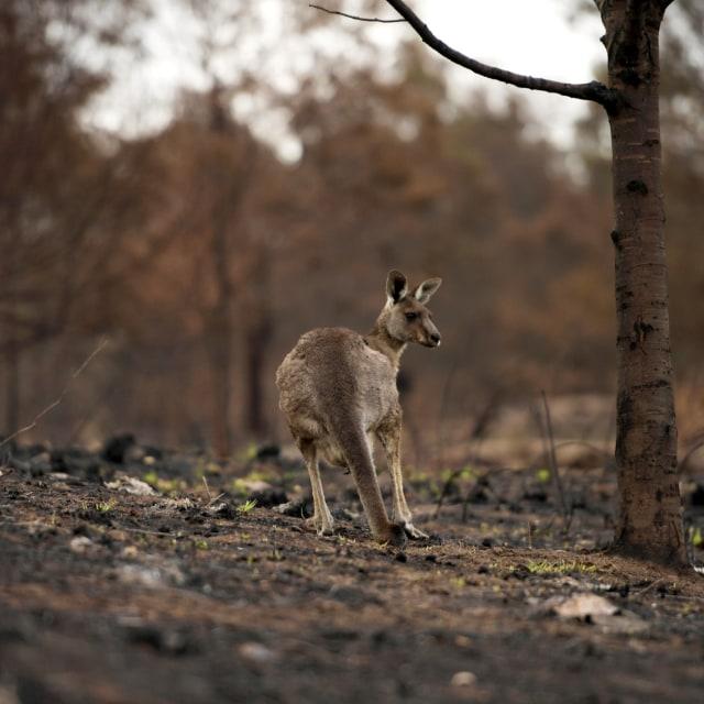 Foto: Duka Cita Jokowi Atas Kebakaran Dahsyat di Australia (134866)