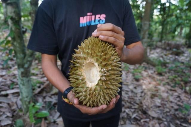 Wisata Durian Lampung Selatan: Bayar Rp 60 Ribu, Makan Sepuasnya (1083016)