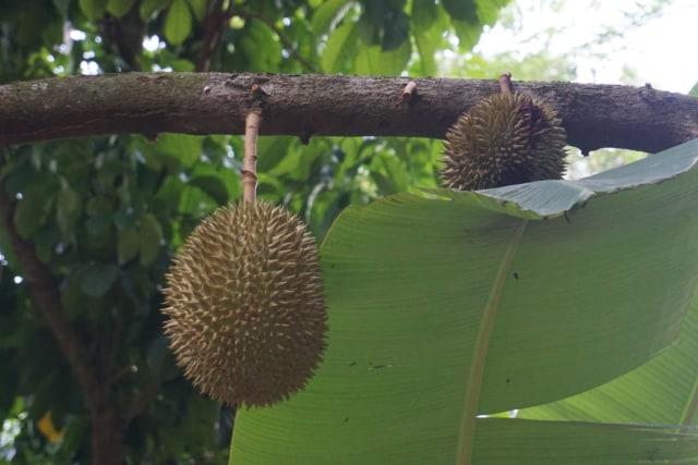 Wisata Durian Lampung Selatan: Bayar Rp 60 Ribu, Makan Sepuasnya (1083017)