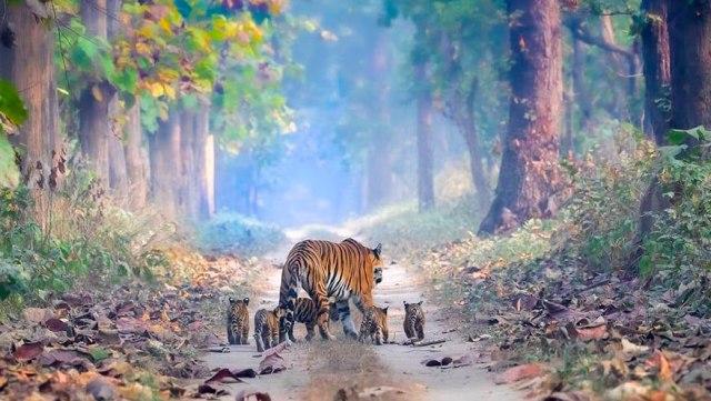 Harimau India Bangkit dari Kepunahan (88188)