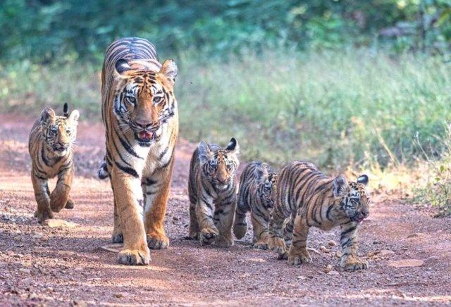 Harimau India Bangkit dari Kepunahan (88189)