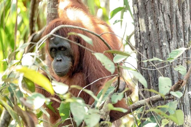 Taman Nasional Tanjung Puting Perpanjang Penutupan hingga 15 Agustus 2021 (157557)