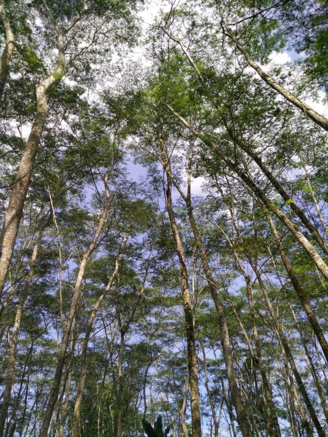 Menikmati Kesejukan Hutan Albasia, Wisata Alam di Kubu Raya, Kalbar (65163)