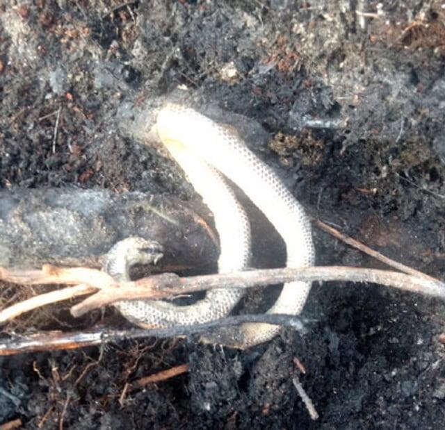 Ular Piton 4,5 Meter Sedang Erami Puluhan Telur Mati Terpanggang Api Karhutla (685281)