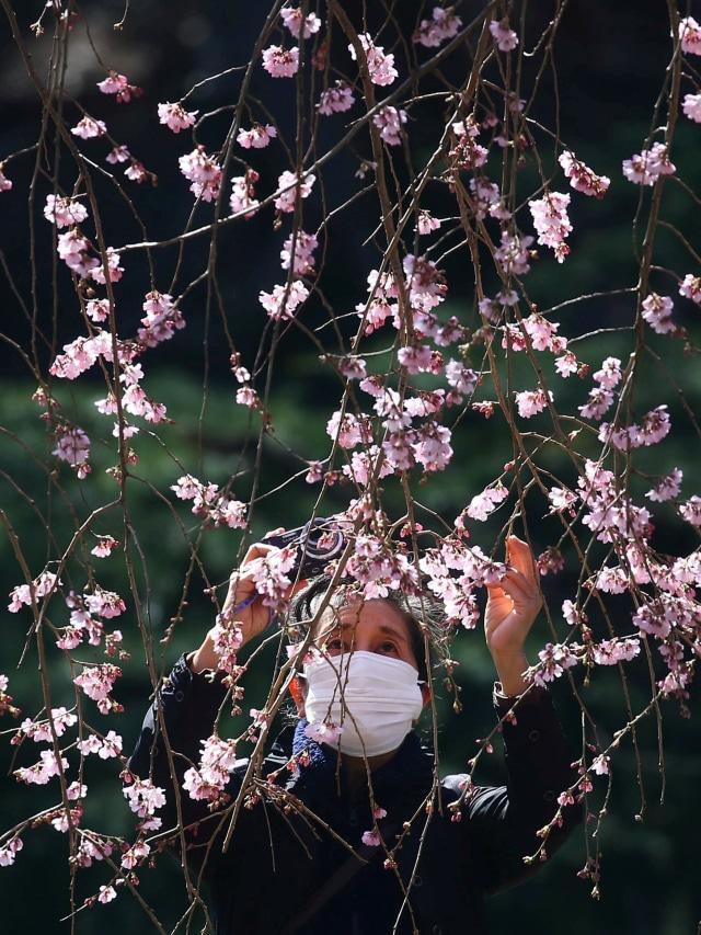 Foto: Melihat Mekarnya Bunga Sakura di Tengah Wabah Virus Corona (1230239)
