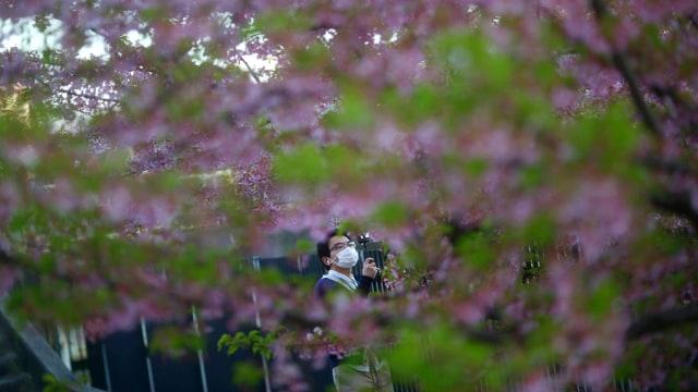 Foto: Melihat Mekarnya Bunga Sakura di Tengah Wabah Virus Corona (1230237)