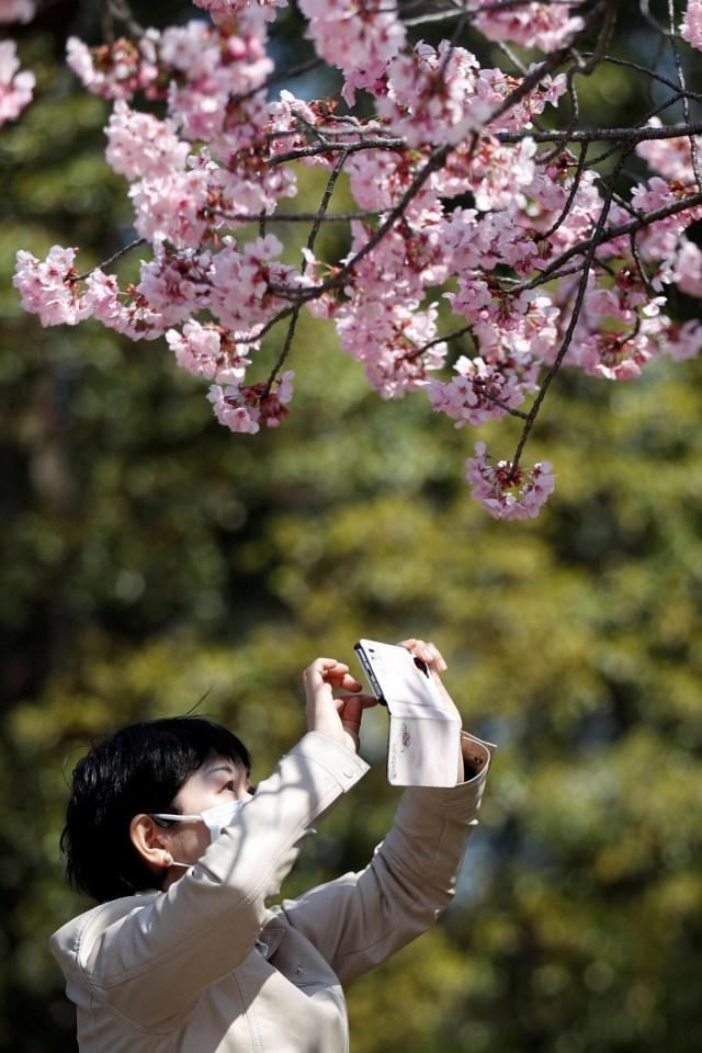 Foto: Melihat Mekarnya Bunga Sakura di Tengah Wabah Virus Corona (1230244)