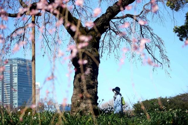 Foto: Melihat Mekarnya Bunga Sakura di Tengah Wabah Virus Corona (1230240)