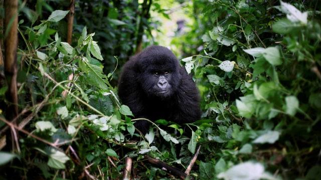 Pertama Kalinya, Simpanse dan Gorila Terlibat Perang di Alam Liar (1175034)