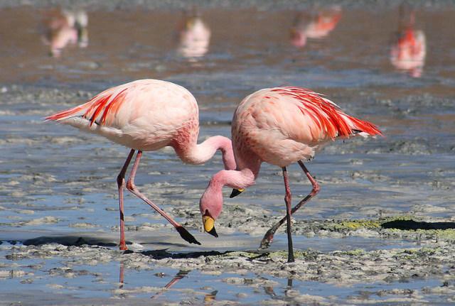 800px-Flamingos_Laguna_Colorada.jpg