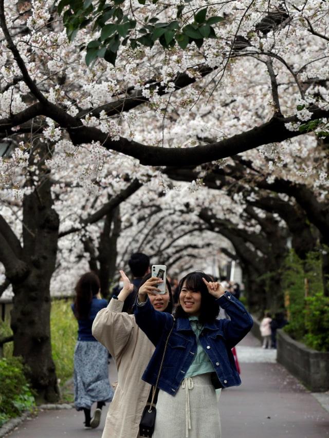 Pertama Kalinya Sejak 1.200 Tahun, Bunga Sakura di Jepang Mekar Lebih Awal (753146)