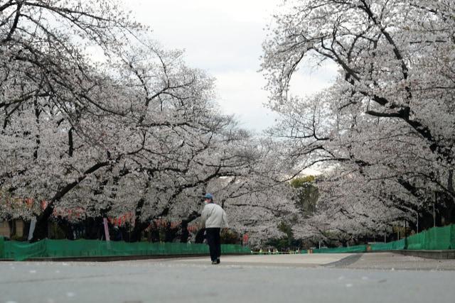 Virus Corona di Jepang-Taman Ueno Ditutup-Bunga Sakura