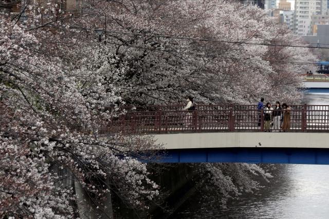 Tahun Ini, Bunga Sakura di Jepang Mekar Lebih Awal, Catat Jadwalnya! (733387)