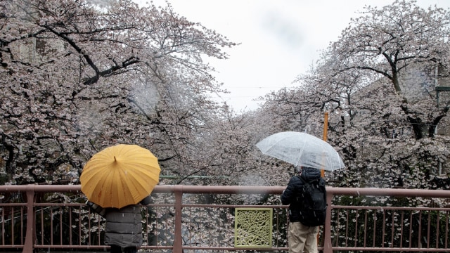 Momen langka bunga sakura dan salju turun bersamaan