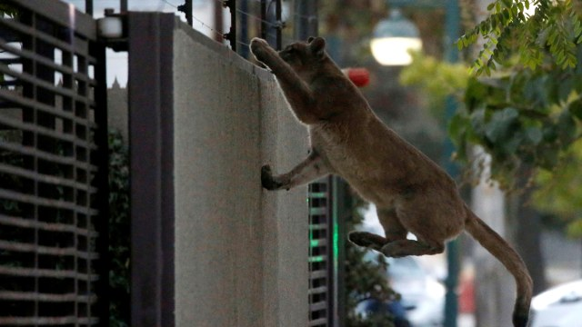 Chile Lockdown, 3 Ekor Puma Berkeliaran di Ibu Kota Santiago (137698)