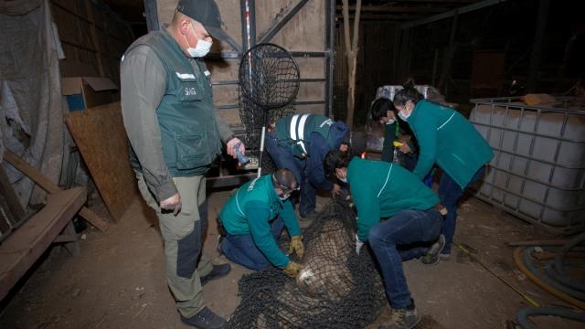 Chile Lockdown, 3 Ekor Puma Berkeliaran di Ibu Kota Santiago (343667)