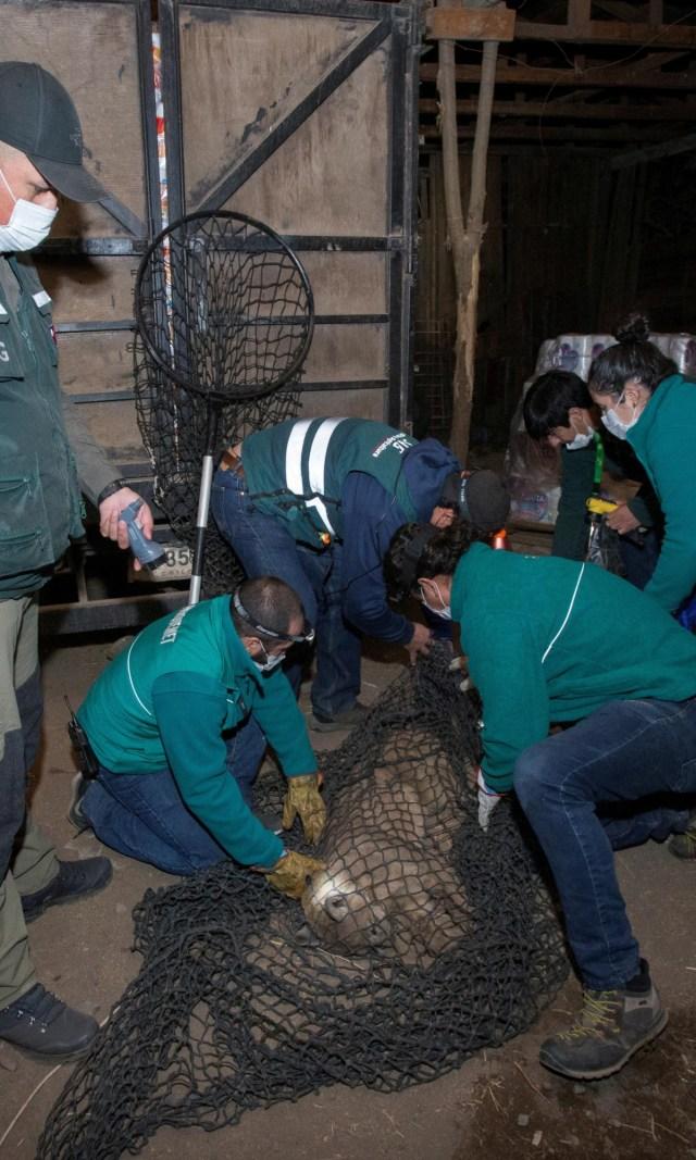 Chile Lockdown, 3 Ekor Puma Berkeliaran di Ibu Kota Santiago (137697)