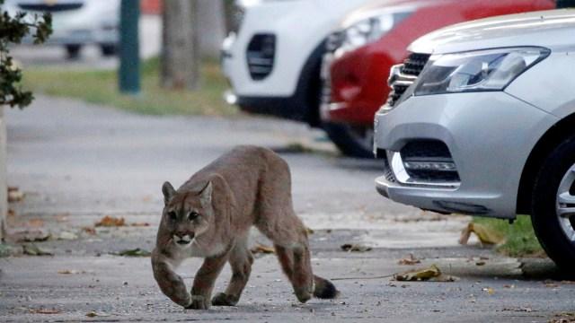 Chile Lockdown, 3 Ekor Puma Berkeliaran di Ibu Kota Santiago (343668)