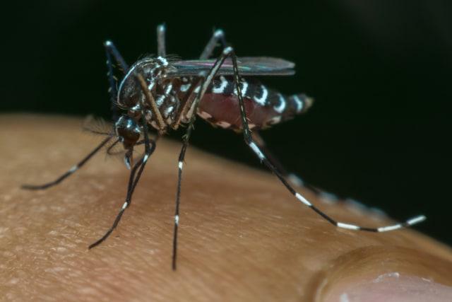 Ilmuwan Modifikasi Nyamuk Penyebar DBD di Indonesia, Buat Apa? (130225)