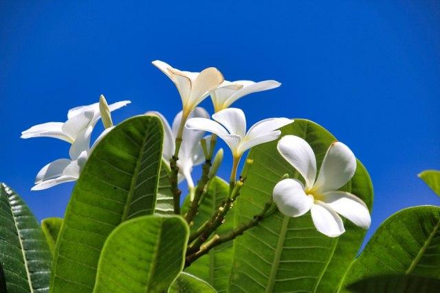 Mitos Bunga Kamboja, Tumbuhan Pemanggil Hantu (73211)