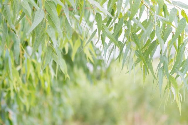 Manfaat Kecantikan Minyak Eucalyptus - Tampil Cantik