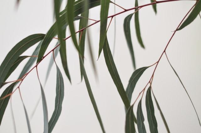 Diklaim Anti Corona, Ini 5 Manfaat Eucalyptus untuk Kesehatan Kulit dan Tubuh (233421)