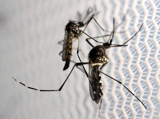Ilmuwan Sebar 5 Juta Telur Nyamuk Terinfeksi Bakteri 'Ajaib' Cegah DBD di Yogya (1)