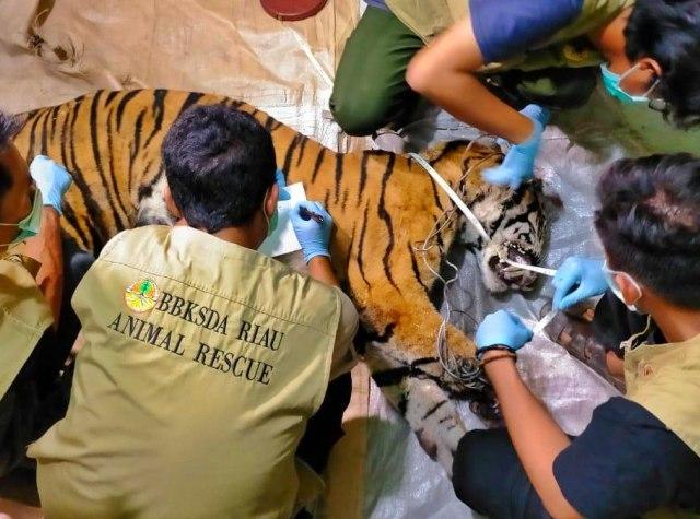 Harimau Sumatera Ditemukan Mati dengan Kaki Kanan Busuk karena Terkena Jerat (141596)