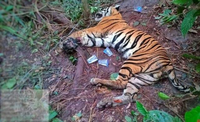 Harimau Sumatera Ditemukan Mati dengan Kaki Kanan Busuk karena Terkena Jerat (141597)