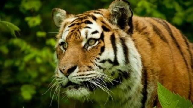 Harimau Sumatera Ditemukan Mati dengan Kaki Kanan Busuk karena Terkena Jerat (141598)