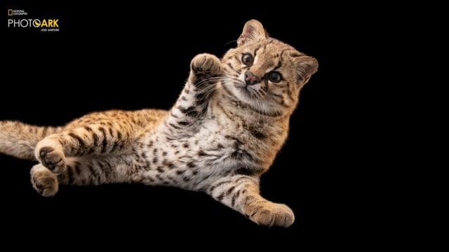 Güiña, Kucing Liar yang Beratnya Hanya 3 Kg Ini Suaranya Mirip Kicau Burung (229602)