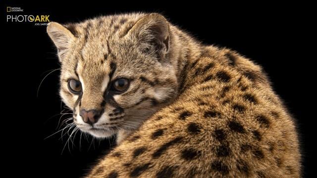Güiña, Kucing Liar yang Beratnya Hanya 3 Kg Ini Suaranya Mirip Kicau Burung (229603)