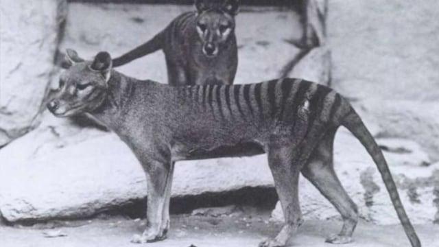 Ini Video Berwarna Harimau Tasmania yang Telah Punah 35 Tahun Lalu (58472)