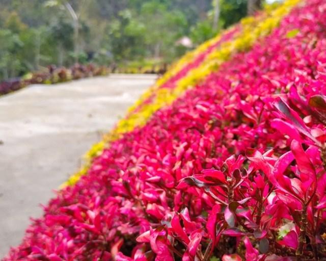 Amboi! Cantiknya Taman Bunga di Sumatera Barat Ini Mirip Wisata di Jepang  (163224)