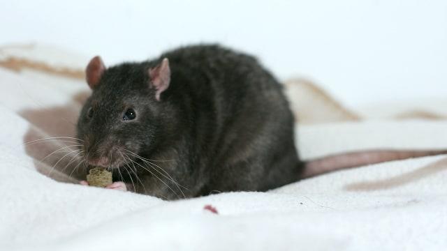 Lockdown COVID-19 Menjadikan Tikus Lebih Agresif dan Kanibal (56718)