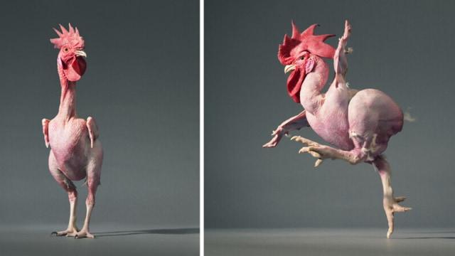 Mengenang Ayam Tanpa Bulu, Rekayasa Genetika Paling Kurang Ajar (40529)