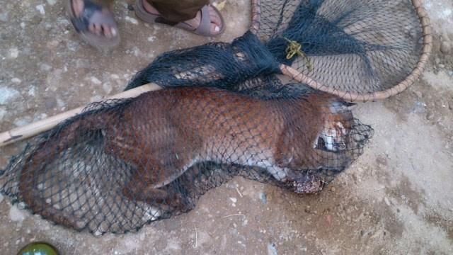 Mengenal Kucing Emas, Spesies Terancam Punah yang Ditemukan di Sumatera Barat (41358)