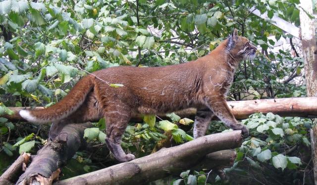 Mengenal Kucing Emas, Spesies Terancam Punah yang Ditemukan di Sumatera Barat (41360)