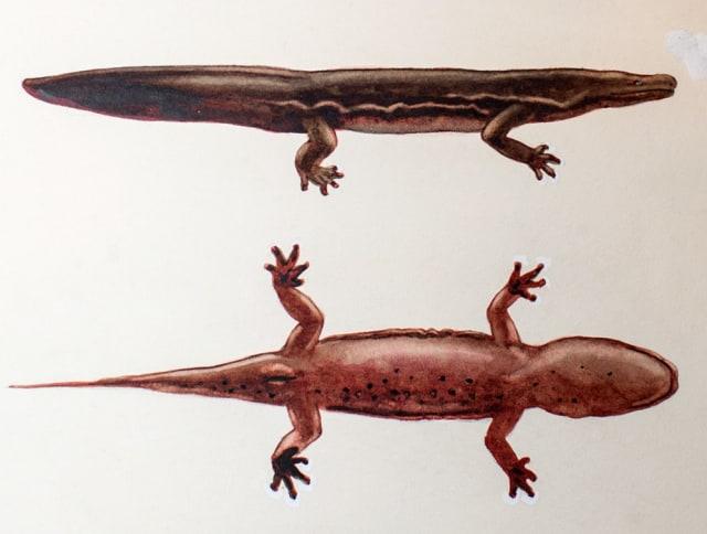 Salamander Ini Hewan Amfibi Terbesar di Dunia, Panjangnya Setara Motor NMax (318979)