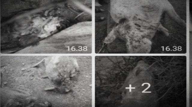 BBKSDA Ungkap Ciri Palasik, Makhluk Pengisap Darah Ternak di Tapanuli Utara (156026)